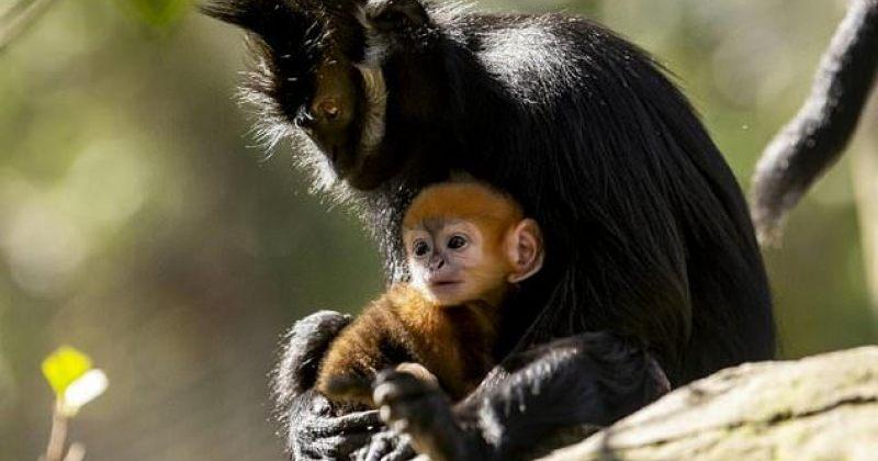ავსტრალიის ზოოპარკში იშვიათი სახეობის მაიმუნი დაიბადა [ფოტო]