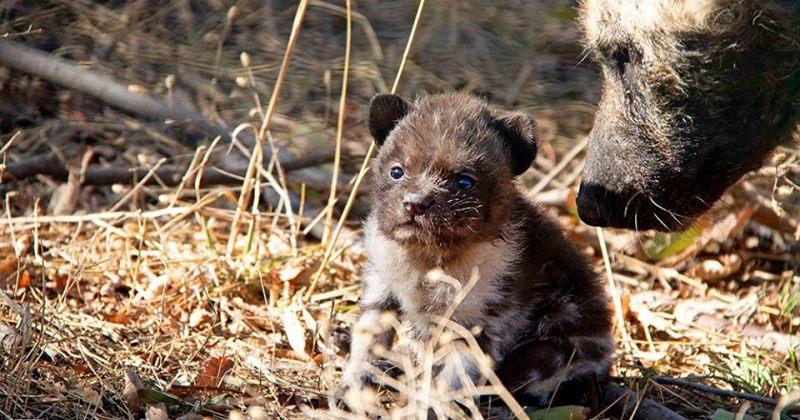 თბილისის ზოოპარკში გადაშენების პირას მყოფი აფრიკული მოხატული ძაღლის ლეკვები დაიბადნენ