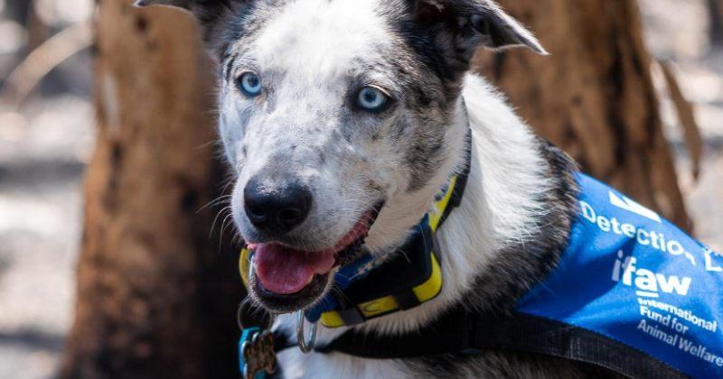 ძაღლი, რომელიც ავსტრალიაში ხანძრისას დაშავებული კოალების პოვნაში და გადარჩენაში ეხმარება