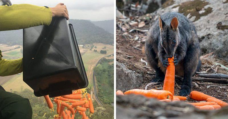 ავსტრალიის ხანძარს გადარჩენილი მშიერი ცხოველებისთვის თვითმფრინავებიდან საკვები გადაყარეს