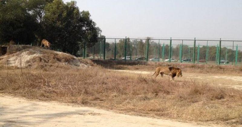 პაკისტანის ზოოპარკში მოზარდი ბიჭის ცხედრის ნარჩენები ლომის გალიაში იპოვეს