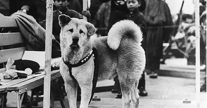 ჰაჩიკო: ერთგული ძაღლის ისტორიული ფოტოები