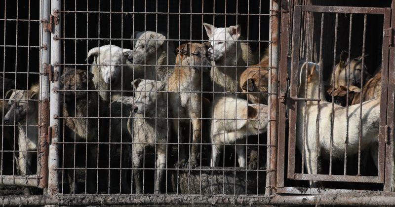 ჩინეთმა ამოიღო ძაღლი იმ ცხოველთა სიიდან, რომელთა ხორცის ჭამაც დაშვებულია