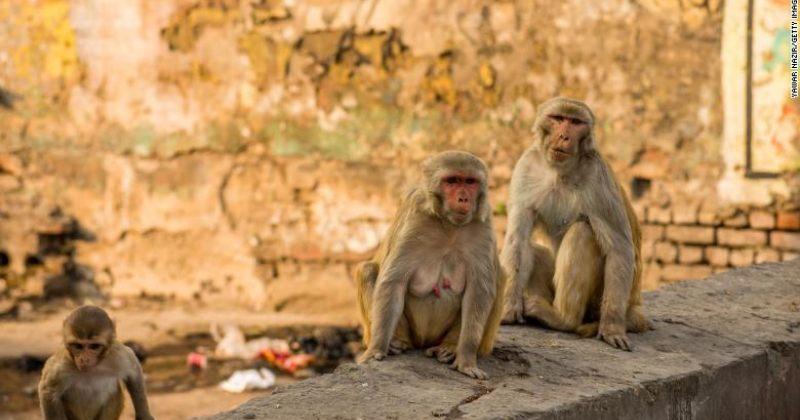 ინდოეთში მაიმუნებმა COVID-19-ზე აღებული სისხლის ნიმუშები მოიპარეს