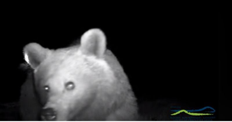 მურა დათვი ფშავ-ხევსურეთის ეროვნული პარკში [VIDEO]