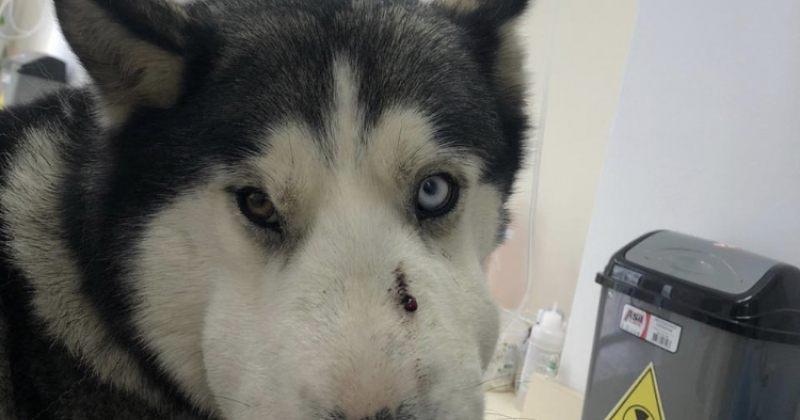 ტაბახმელაში ჰასკის ჯიშის ძაღლმა 5 წლის ბავშვი გველის კბენას გადაარჩინა