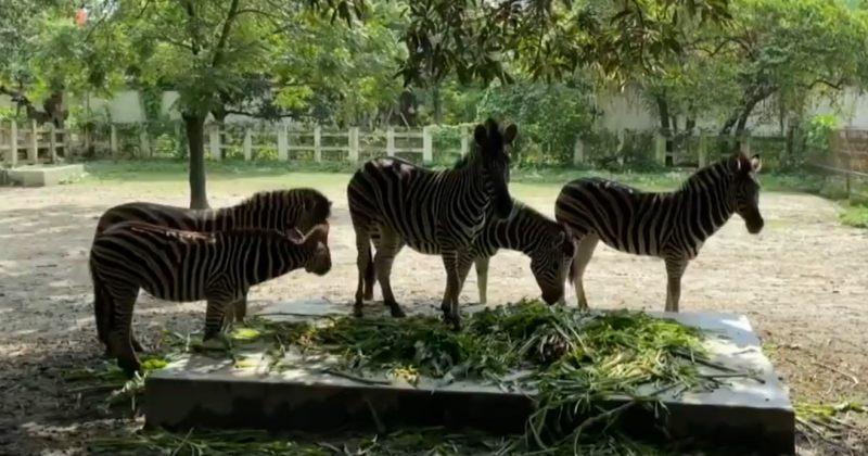 COVID-19-ის გამო ჩაკეტვის პერიოდში ბანგლადეშის ზოოპარკში ცხოველები რეკორდულად გამრავლდნენ