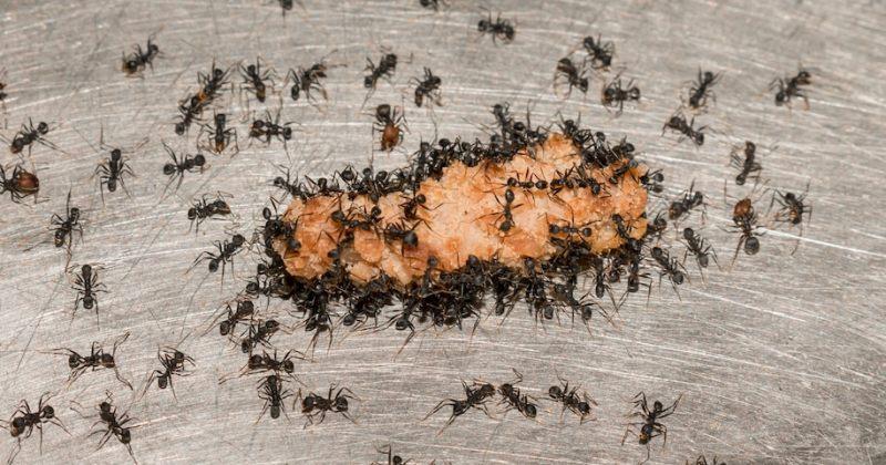 Facebook ჯგუფში თითქმის 2 მილიონი ადამიანი თავს აჩვენებს, რომ ჭიანჭველაა