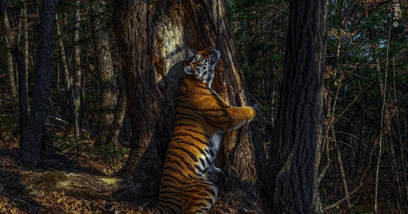 ველური ბუნების ფოტოკონკურსში მთავარი ჯილდო ხესთან ჩახუტებული ვეფხვის ფოტომ აიღო [ფოტოები]