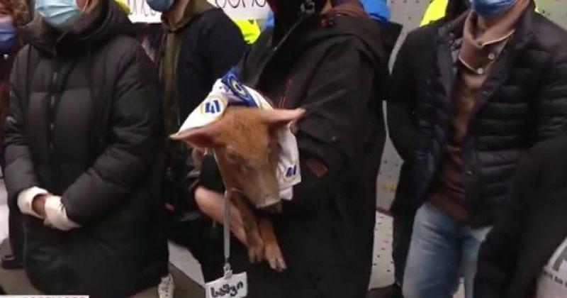 """""""ეს პარლამენტი ცხოველების ფერმად არ გადაიქცევა"""" – აქტივისტებმა პარლამენტთან გოჭი მიიყვანეს"""