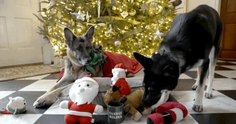 ჯო ბაიდენის ძაღლების საშობაო ვიდეო