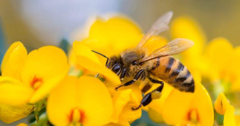 ვაქცინაციის პროგრამებს ფუტკრებიც ატარებენ – თანაც, ორჯერადად