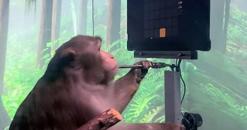 ილონ მასკის მაიმუნი გონებით ვიდეოთამაშებს აკონტროლებს [VIDEO]