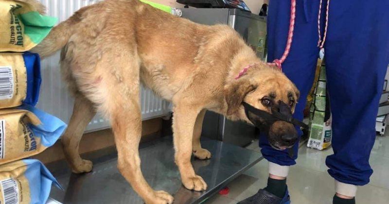 Animal Project: თეთრიწყაროში ძაღლს ხელნაკეთი ისარი ესროლეს, ცხოველს ოპერაცია უტარდება